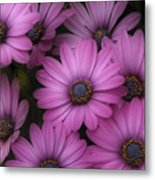 Daisies In Dakota Metal Print