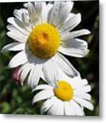 Daisies In The Sunshine Metal Print