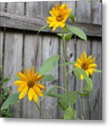 Daisies On The Fence Metal Print