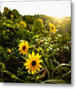 Daisies Tangled Sunrise Delray Beach Florida Metal Print