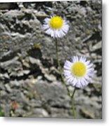 Daisy Fleabane Flowers Metal Print