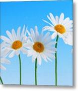 Daisy Flowers On Blue Metal Print