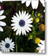 Daisy Forms Metal Print