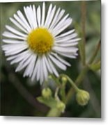Daisy In White Metal Print