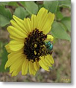 Daisy With Blue Bee Metal Print