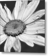 Daisy With Raindrops In Black And White Metal Print