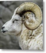 Dall Sheep Metal Print