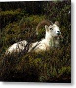 Dall Sheep Ram Metal Print