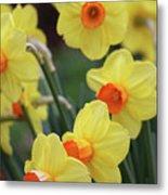 Dallas Daffodils 01 Metal Print