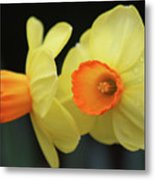 Dallas Daffodils 07 Metal Print