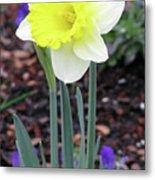 Dallas Daffodils 20 Metal Print