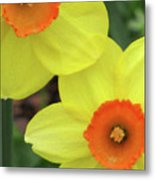 Dallas Daffodils 36 Metal Print
