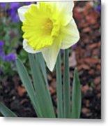 Dallas Daffodils 71 Metal Print