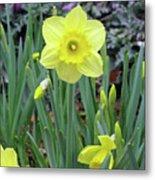 Dallas Daffodils 83 Metal Print