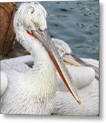 Dalmatian Pelican #3 Metal Print