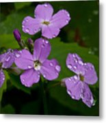 Dame's Rocket Raindrops#1 Metal Print