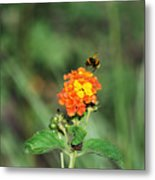 Dance Of The Bumble Bee Metal Print