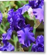 Dancing Blue Irises Metal Print
