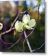 Dancing Dogwood Blooms Metal Print