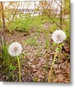 Dandelion Close To The River Metal Print