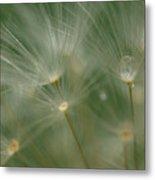 Dandelion Dew Two Metal Print