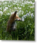 Dandelion Fox Metal Print