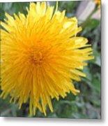 Dandelion In Bloom Metal Print