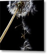 Dandelion Loosing Seeds Metal Print