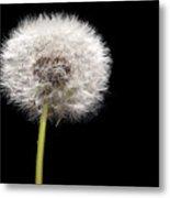 Dandelion Seedhead Metal Print