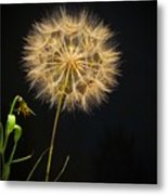 Dandelion Thirty Nine Metal Print