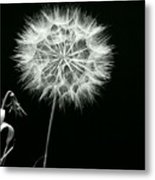 Dandelion Thirty Six Metal Print