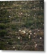 Dandelions From Foot To Far Metal Print