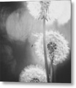 Dandelions In Sunlight Metal Print