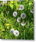 Dandelions On The Maryland Appalachian Trail Metal Print