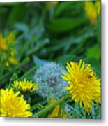 Dandelions, Young And Old Metal Print