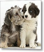 Dandy Dinmont Terrier And Border Collie Metal Print