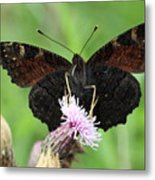 Dark Knight Dark Side Of A Peacock Butterfly In Ireland Metal Print