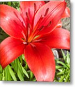 Dark Orange Red Lily Metal Print