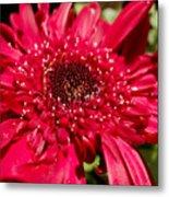 Dark Red Gerbera Daisy Metal Print