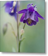 Dark Violet Columbine Flowers Metal Print