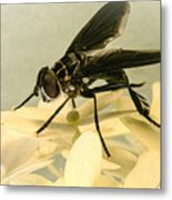 Dark Winged Comb Footed Fly Metal Print