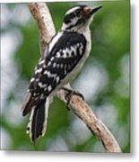 Daydreaming Downy Woodpecker Metal Print