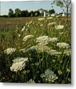 Days Of Queen Annes Lace Metal Print