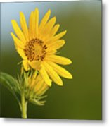 Ddp Djd Sunflower 2639 Metal Print