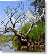 Dead Cedar Tree In Waccasassa Preserve Metal Print
