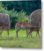 Deer In A Hay Field Metal Print