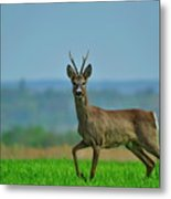 Deer On The Field Metal Print