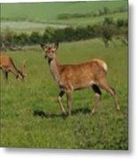 Deers On A Hill Pasture. Metal Print