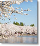 Delicate Blossoms Over The Tidal Basin Metal Print