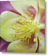 Delicate Columbine Nature Photograph Metal Print